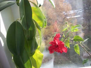 Цветок китайской розы