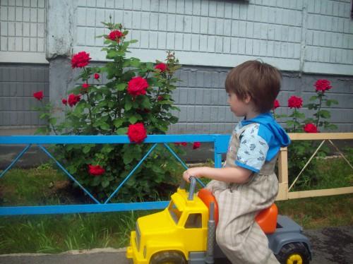Розы возле нашего подъезда
