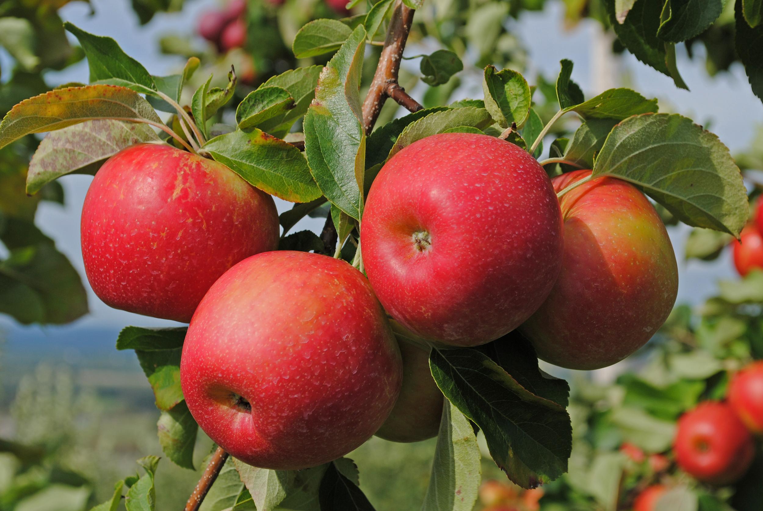 Картинки Яблоки На Ветке