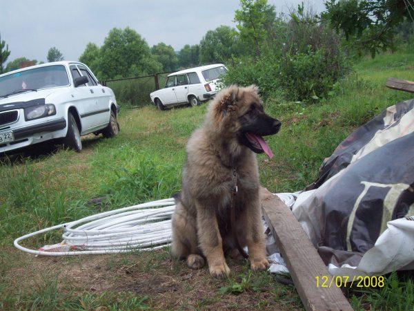 Собака Виста и две машины